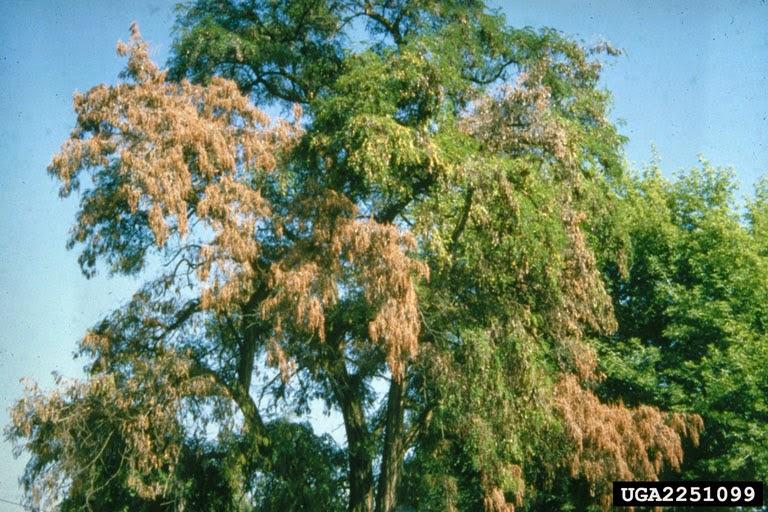 Verticillium albo-atrum