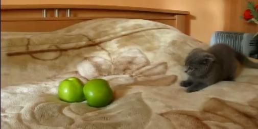 Vidéo chat vs pommes
