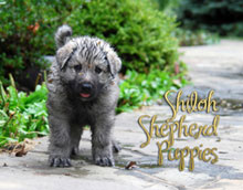 2013 Shiloh Puppy Calendar
