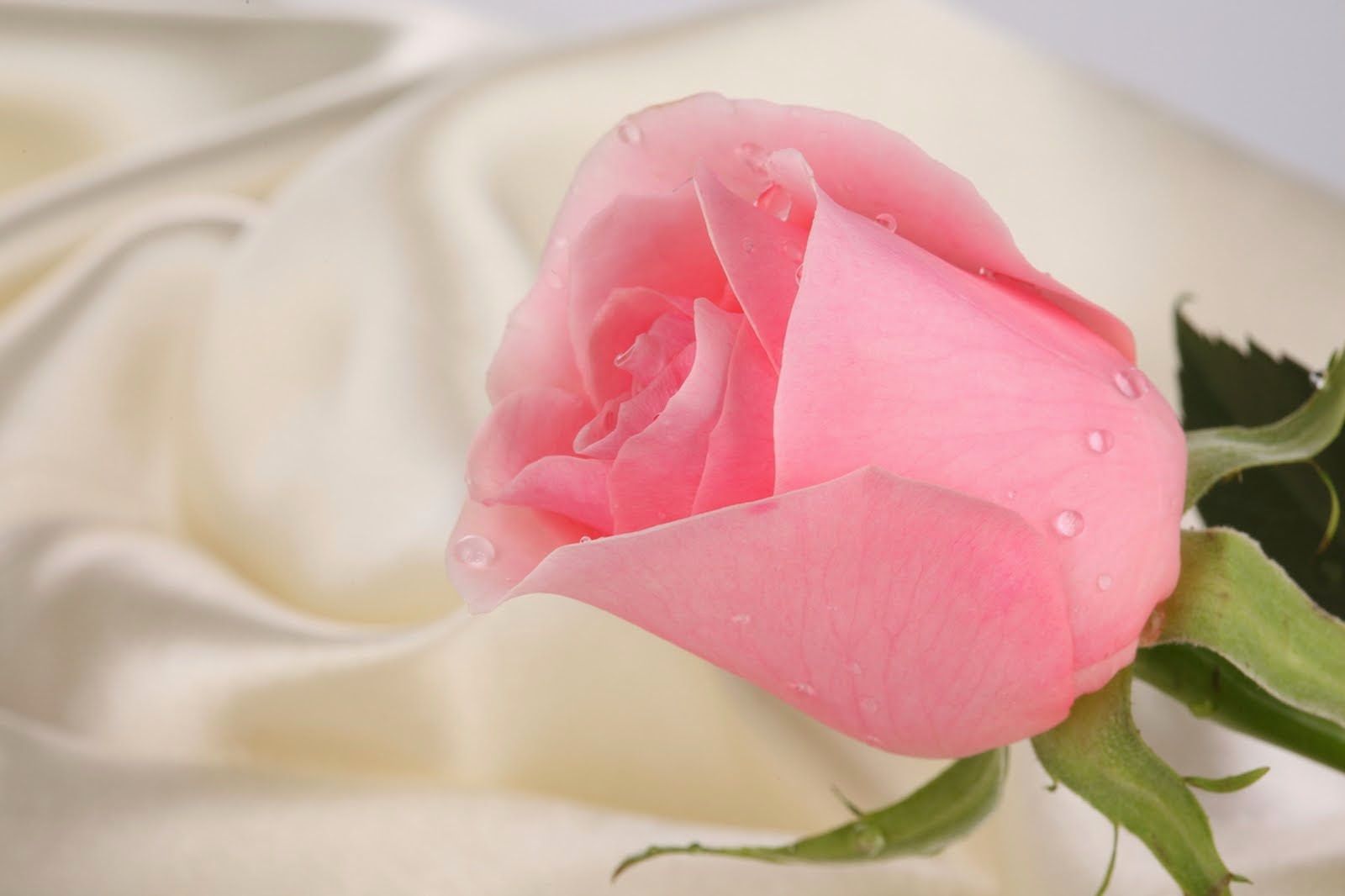 Beautiful Pink Rose Flowers Wallpapers For Gift