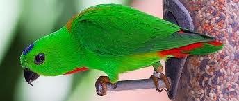 Foto Burung Serindit Update Harga Terbaru