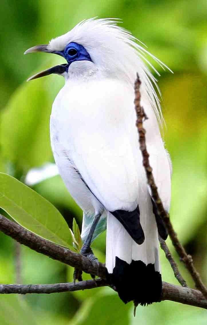 gambar burung jalak bali - gambar burung - gambar burung jalak bali