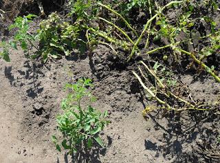 25.08. Картошку уже понемногу убираю, а помидорки из прошлогодней падалицы продолжают всходить и расти.