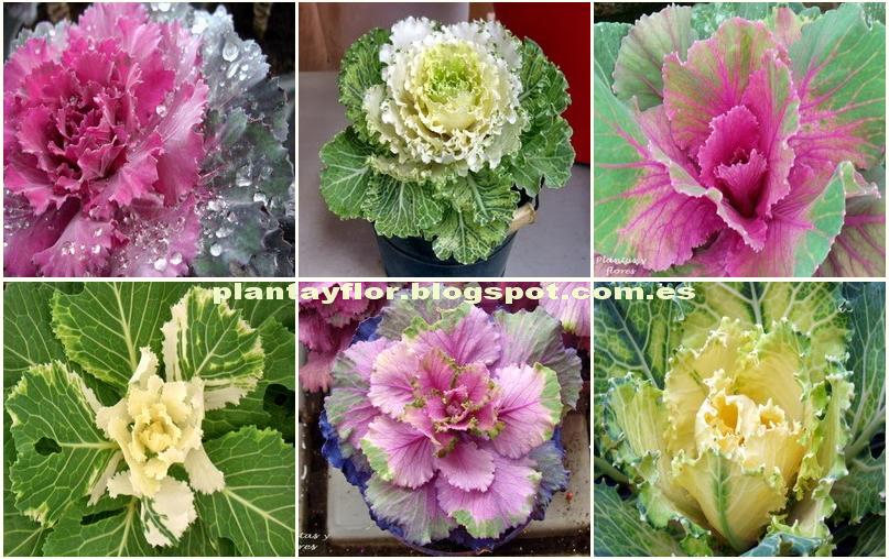 Plantas Y Flores Brassica Oleracea