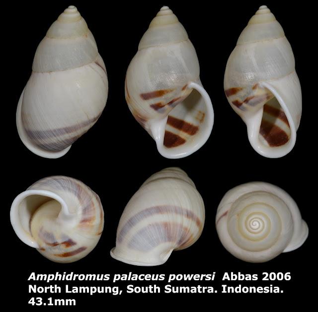 Amphidromus palaceus powersi 43.1mm