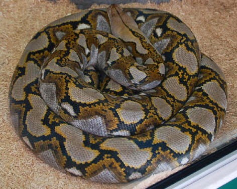 R J Syahrulloh Reticulatus Python