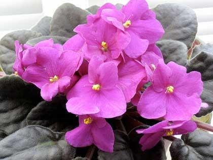 Piante e fiori violetta africana saintpaulia for Violetta africana