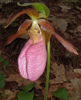 Las Cypripedioideae, llamadas \u0026quot;Zapatitos de Dama\u0026quot; (Ladys slipper orchids) incluyen 5 géneros principales Cypripedium, Paphiopedilum, Phragmipedium,