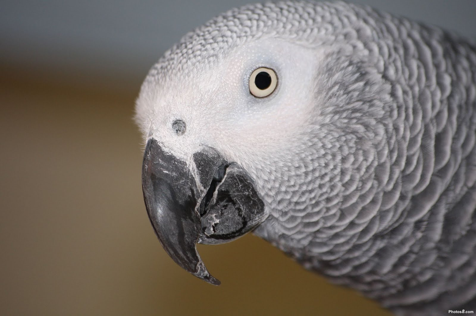 african grey parrot - photo #43