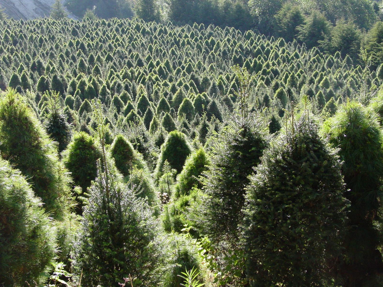 de rboles de navidad un negocio rentable y sustentable
