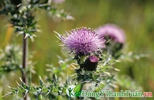 Cúc gai là cách chữa bệnh gan bằng thảo dược từ thiên nhiên