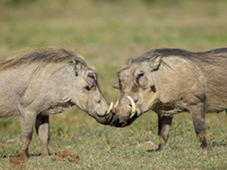 Warthogs Fighting