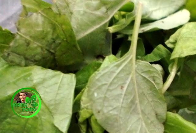 FOTO : Daun - daun untuk membuat pupuk hijau