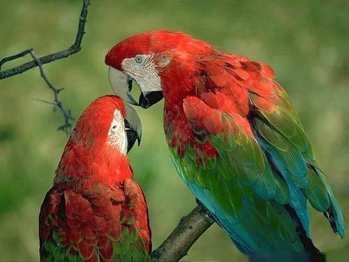 Red Quaker Parrot
