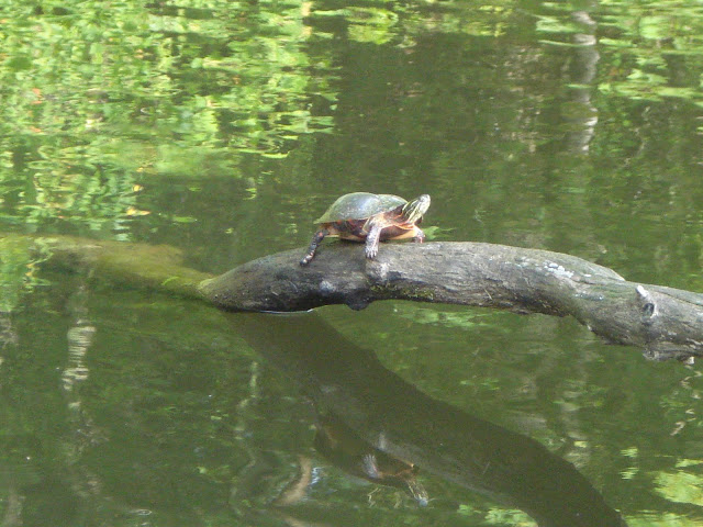 LadyD Books: Turtle