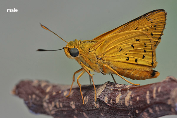 A male Yellow Palm Dart. Physical Description of Adult Butterfly: