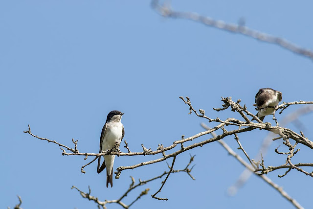 Adult and Young House Martin