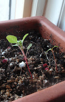 Sumac sprouts?