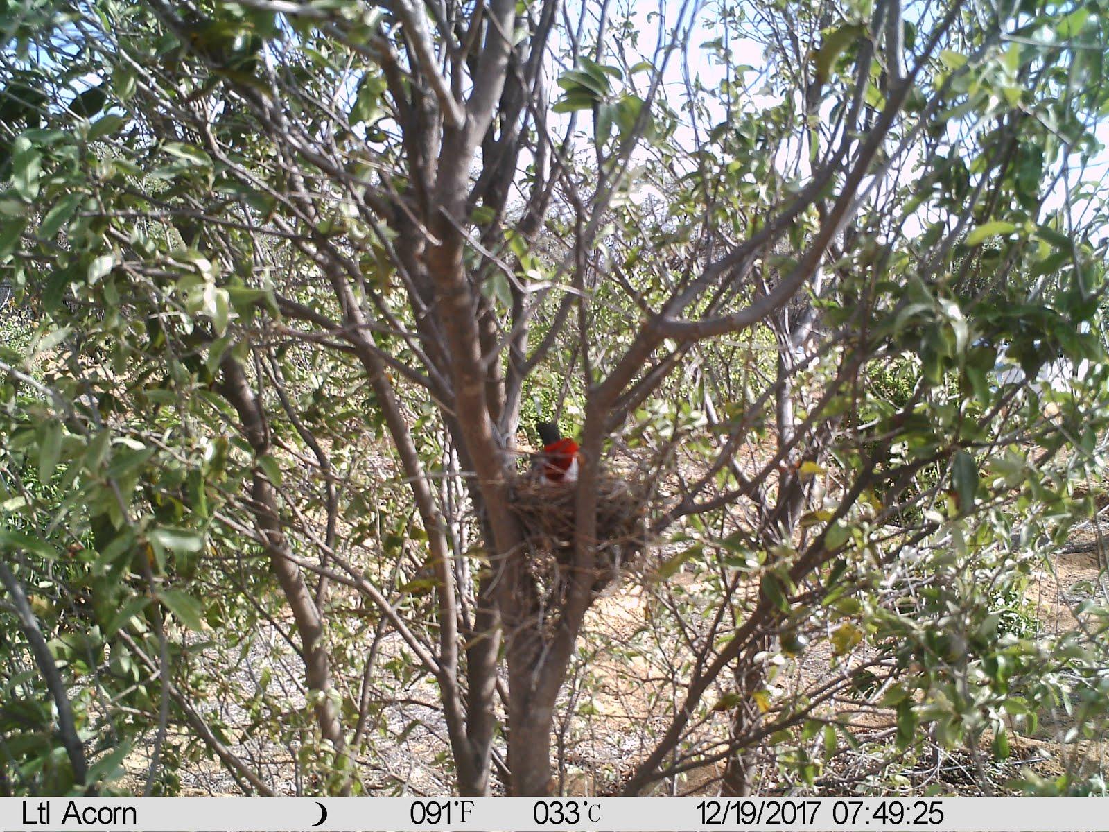 Galo de campina no ninho