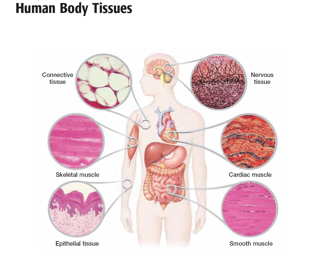 4 types of human tissue Basic tissue types all of the various tissues of the human body can be categorized into four basic tissue types all organs are built of these four tissues, which have consistent characteristics and arrangements from organ to organ thus an appreciation of the major features of these four basic tissue types.
