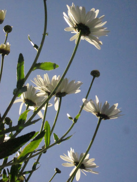 Ox-eye daisies and blue sky