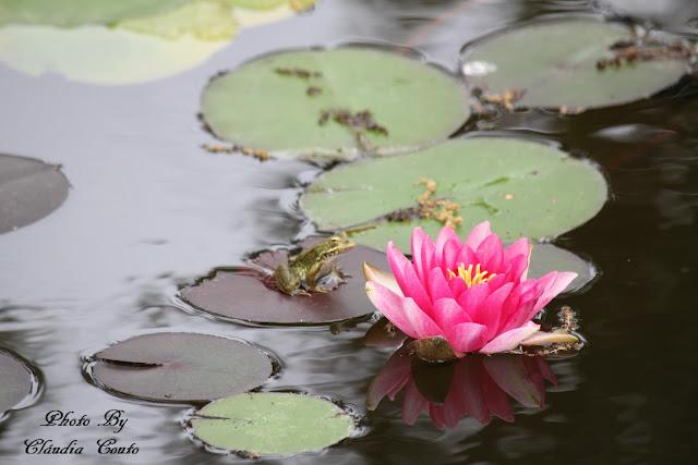 Uma composição fotografica ao acaso, para além da beleza das flores aquaticas tive a vesita de um sapinho amistoso que pousou para a minha objetiva, foi uma premiada.