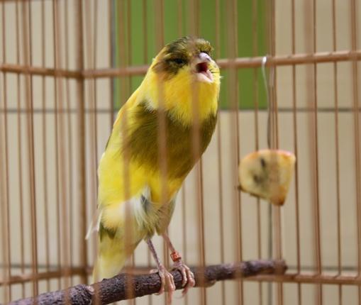 suara burung kenari berdurasi 4 menit burung zoo