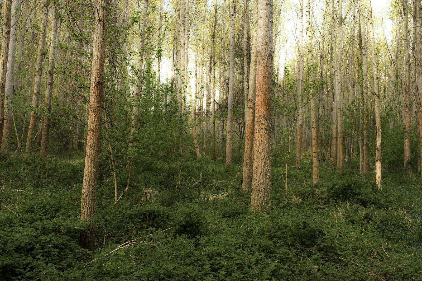 Telepített nyárfa erdő a Beliczay-szigeten