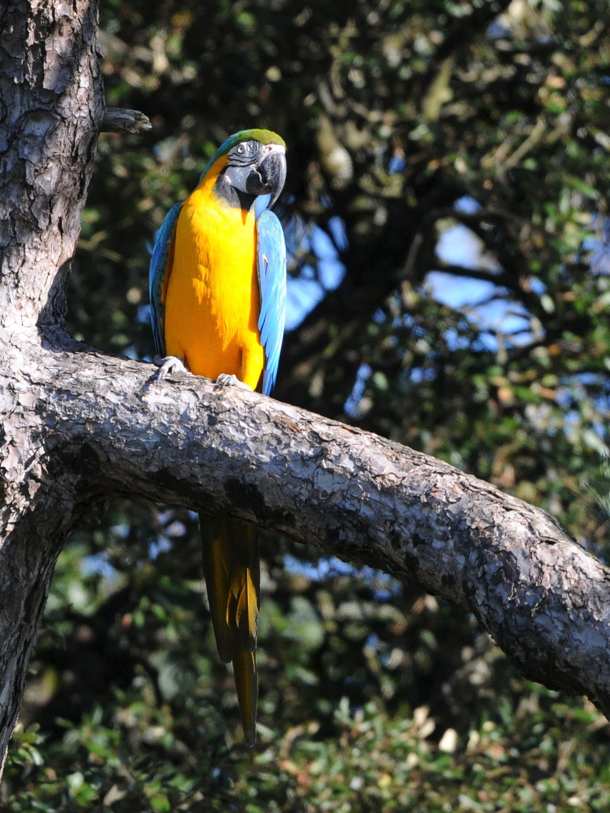 Pompes Blue Macaw YGG89d