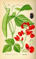 Phaseolus coccineus