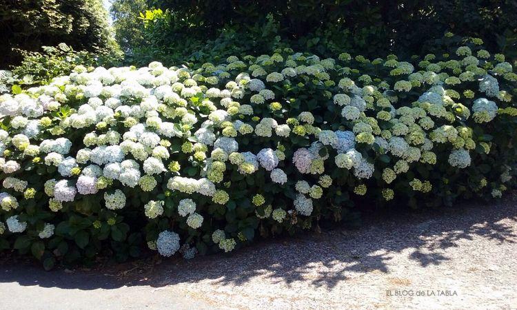 Hablando de hortensias hydrangea macrophylla - Como podar la hortensia ...