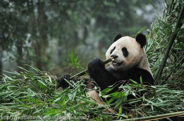 Panda eat.