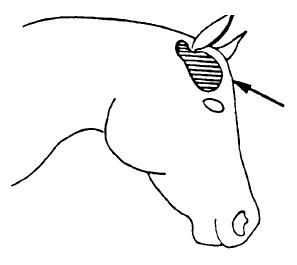 Do Horses Get Headaches?