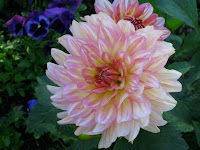 Sonja Benson's dahlias growing