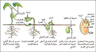 اجزاء النبات صور   الابتدائي 25_154830_36.jpg