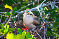 Red Footed Boobie, Genovesa Island, Galapagos