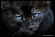 Gato Preto de Olhos azuis e gato preto de olhos Verdes