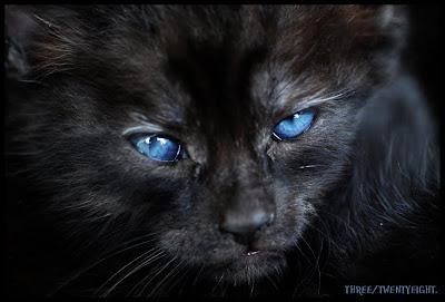 Gatos Pretos Dos Olhos Azuis Gato Preto de Olhos Azuis e