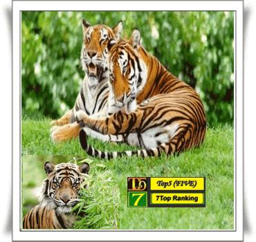 Harimau indocina~Panthera tigris corbetti