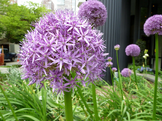 Allium bloom Central Park West, New York