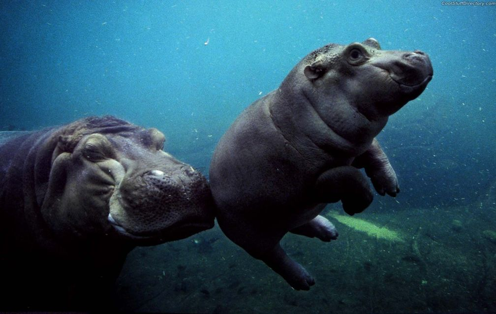 African river hippopotamus mother and son swimming in the aquarium