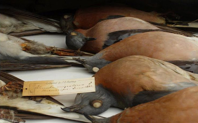Extinct Passenger Pigeons
