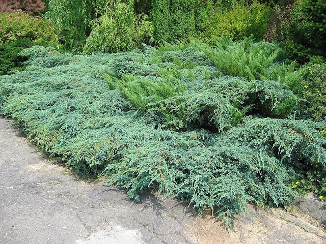 junipero no jardim japonês