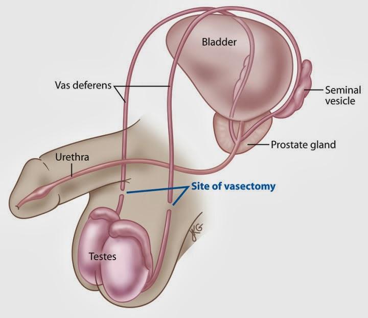 vas deferens – brownshelter, Human Body