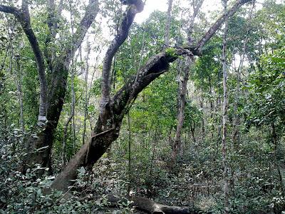 Sundarban mangrove forest tree