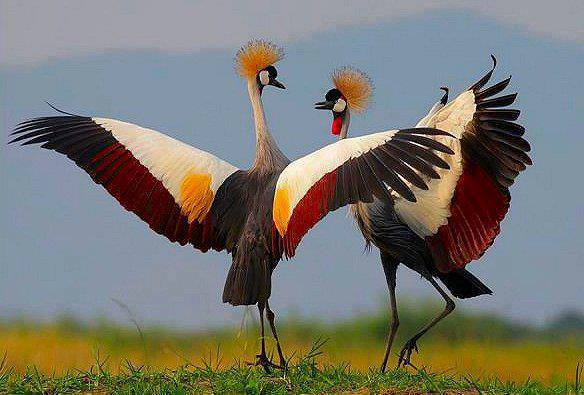 beautiful dancing birds pictures