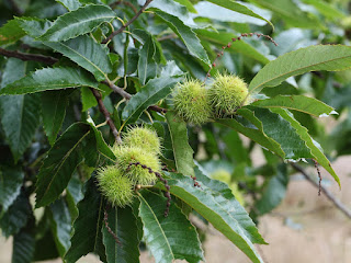 Chestnut Leaves Disarm Deadly Staph Bacteria
