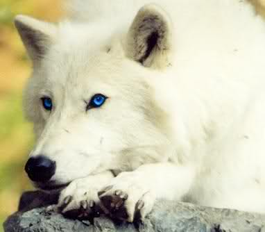 Cute white wolf pup with blue eyes - photo#16