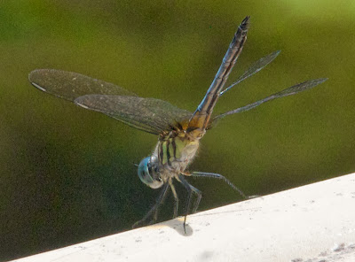 Blue Dasher (Pachydiplax longipennis)