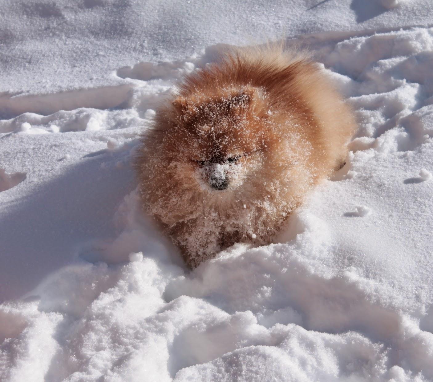 Шпиц, собака